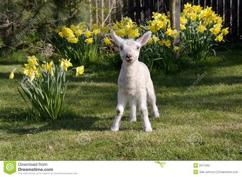 the l by lambs in daffodils stock photo image of easter
