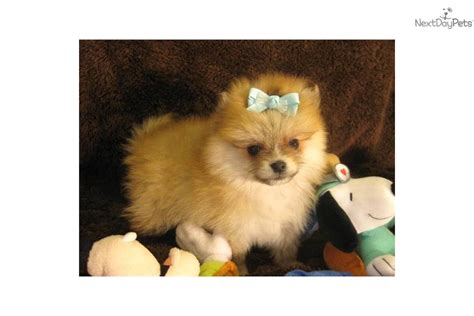 bo the pomeranian meet bo bo a pomeranian puppy for sale for 600 bo bo a special puppy