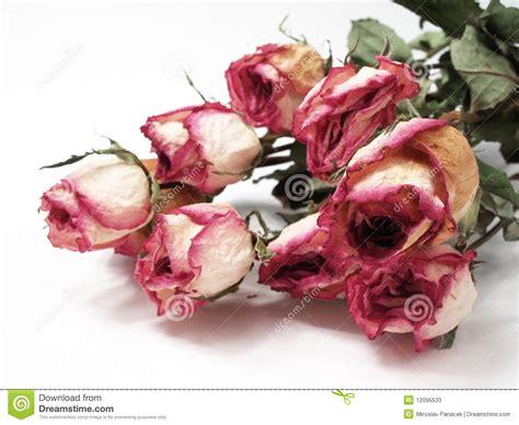 imagenes de rosas secas rosas secas fotos de archivo imagen 12095533