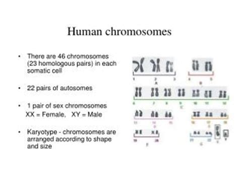 Section 14 1 Human Heredity Answers by 28 14 1 Human Chromosomes Study Guide Answers 129683
