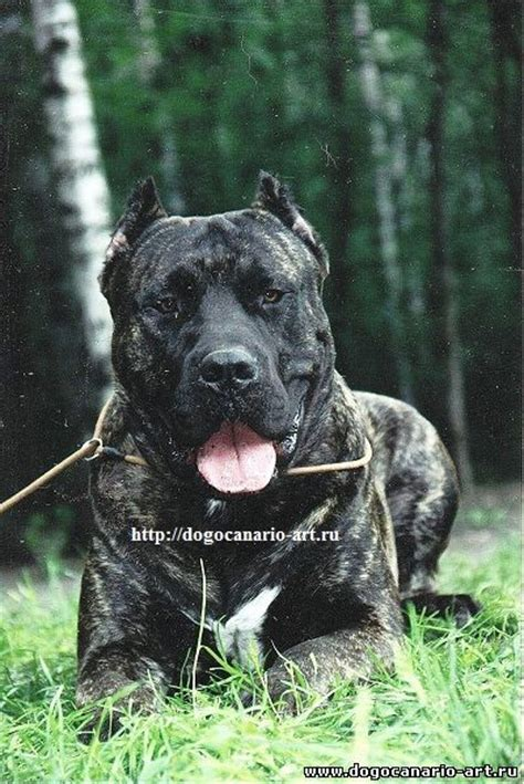 presa canario mix with rottweiler 78 best images about presa canario on rottweiler mix puppys and bull