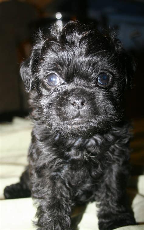 are pugs intelligent image gallery intelligent pug poodle