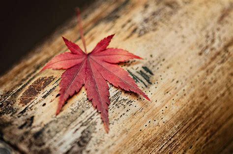 enjoy your di balik keindahan daun maple