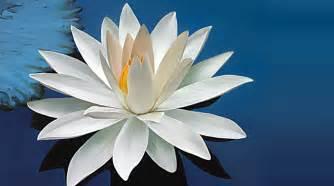 La Flor De Lotus Flor De F 233 Feldman