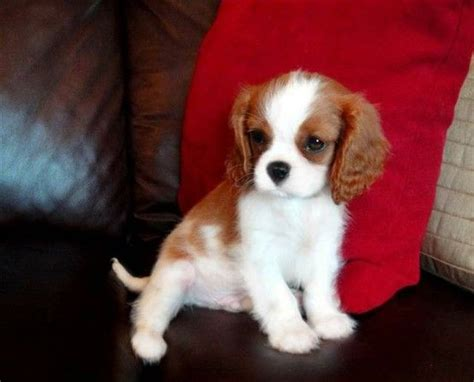 king charles cocker spaniel puppies oh my goodness that is such a a healthy is a happy www