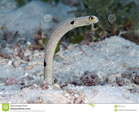 Spotted Garden Eel by Spotted Garden Eel Stock Photography Image 36377412