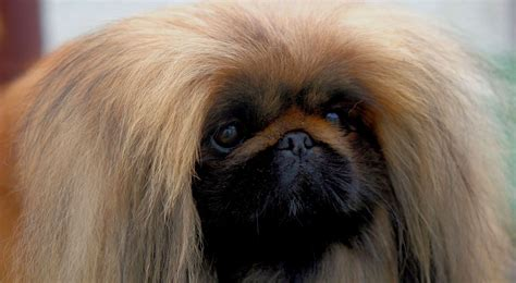 epupz shih tzu related keywords suggestions for pekinese