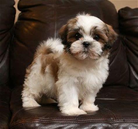 my shih tzu doesn t want to eat 17 best images about boomertje tzi tzu maltezer dit hondje heeft mijn hart gestolen