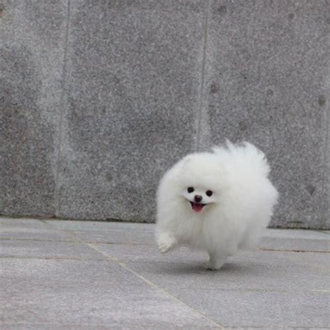 white pomeranian dogs pomeranian bold and inquisitive white pomeranian pomeranians and