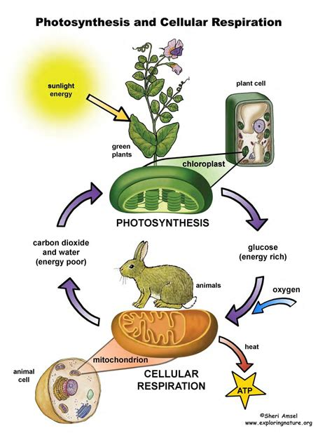 cell energy photosynthesis and respiration section 6 1 answers cellular respiration pdf