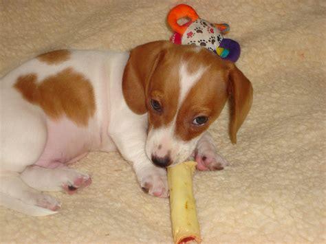 piebald dachshund puppies piebald dachshund puppy wieners rule