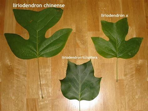 Landscaping Tips liriodendron x tulipifera x chinense havlis cz