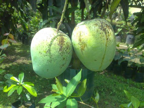 Bibit Tanaman Buah Sawo Manalagi Bibit Sawo Unggul bibit tanaman buah unggul tamora unggul nursery mangga madu anggur
