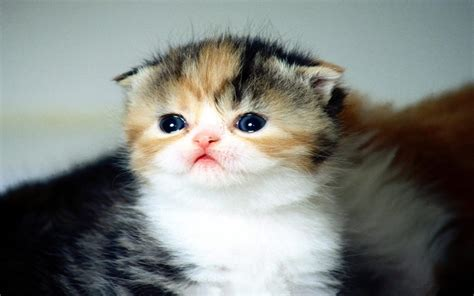 Immagini gattino   Wallpaperart