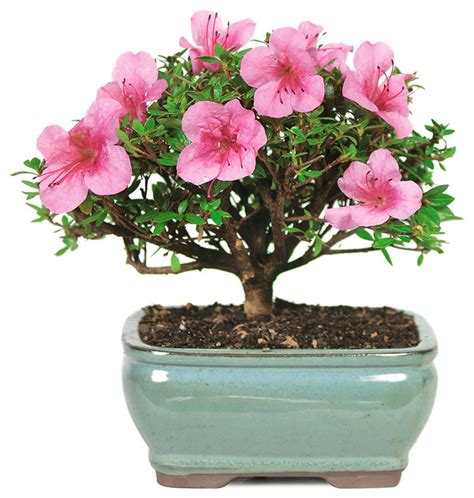bonsai 10 seeds live flowering house plant indoor garden satsuki azalea bonsai tree small asian plants by