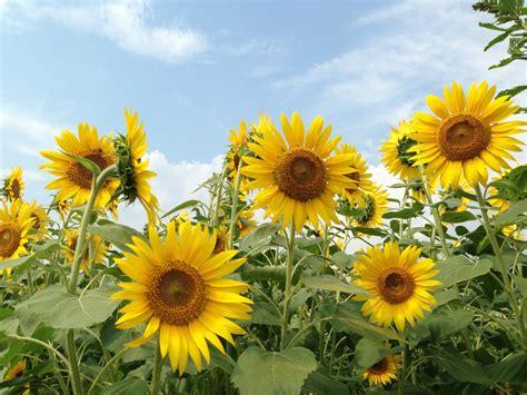 the sunflower garden of japan