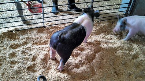 show pugs for sale a sling of the show pigs offered at our 2nd annual summer pig sale june 28
