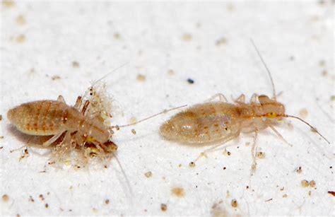 bed lice booklice trogium pulsatorium bugguide net