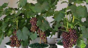 11 cara menanam anggur di daerah tropis ilmubudidaya com