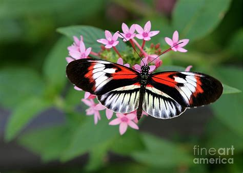 Butterfly L by Piano Key Butterfly On Pink Penta Photograph By L