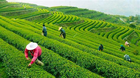 Teh Longjing hangzhou longjing tea visit well tea plantation
