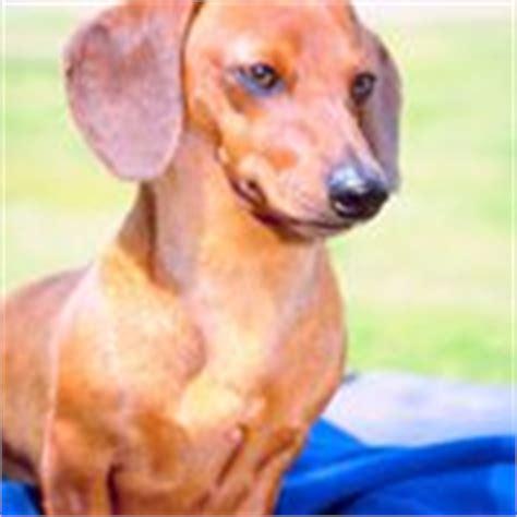 rottweiler losing hair dachshund hypothyroidism pets