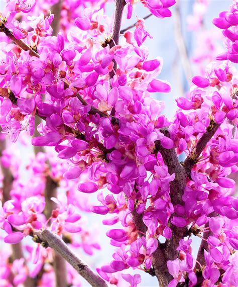 fiori a acquista albero di giuda bakker