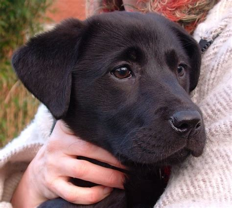12 week lab puppy labrador puppy play biting nipping the owner how to stop