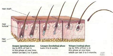 Shedding Phase Of The Hair Growth Cycle by Hair Disorders