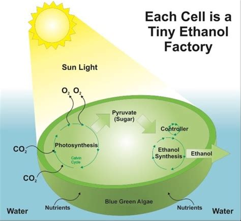 algal cell diagram iowa ethanol plant to grow algae for feed and fuel the