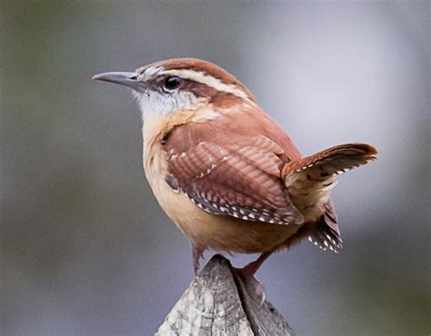 carolina wren carolina wrens pinterest
