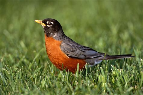 american robin standing in grass field connecticut