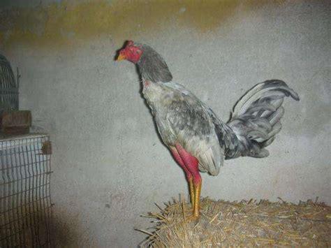 gallo s jerezanos espanoles de venta gallos espa 241 oles en venta imagui
