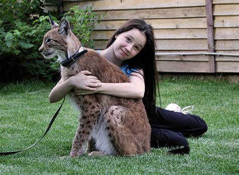 lynx house cat healthiana lynx cat
