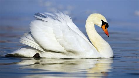 beautiful white swan swimming