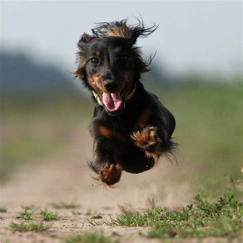 puppy beating fast 12 dachshunds totally defying the laws of physics