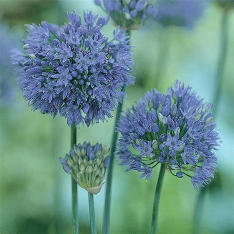allium caeruleum bulbs from mr fothergill s seeds and plants