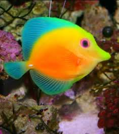 colorful tropical fish best 20 colorful fish ideas on pretty fish