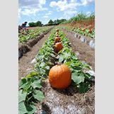 Pumpkins Growing   428 x 640 jpeg 92kB