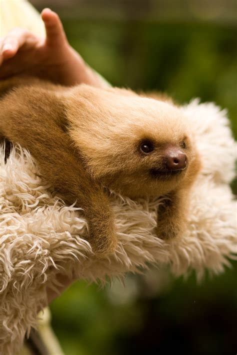 sloth going to the bathroom sloth random facts sloths only go to the bathroom once