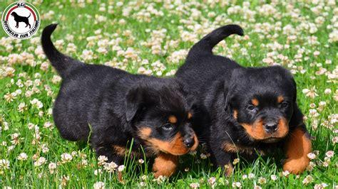 the rottweiler club rottweiler club italia
