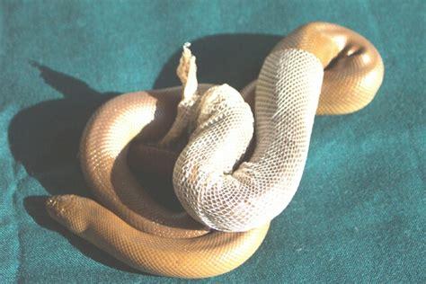 Snake Shedding Skin by Dangerous Snakes Snake Shedding Skin