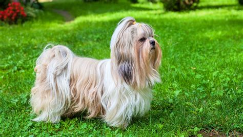 shih tzu names 250 fantastic shih tzu names my s name
