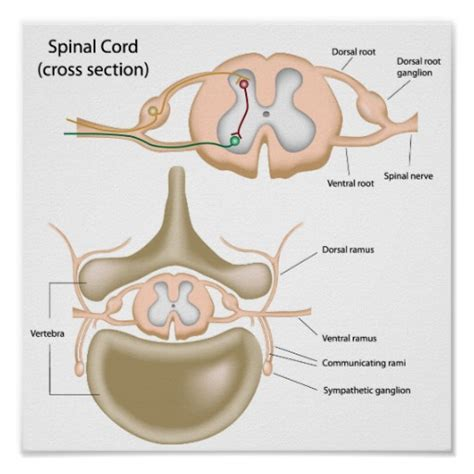 spinal cross section cross section of the spinal cord poster zazzle