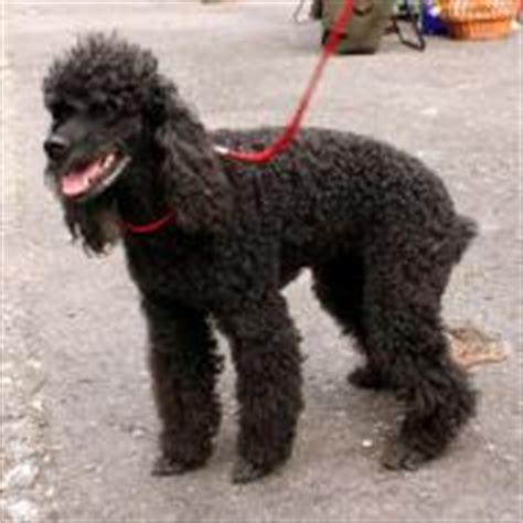 medium poodle lifespan medium poodle breeds dogbreedworld