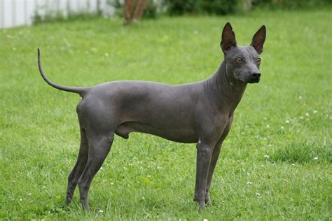 american hairless terrier puppies american hairless terrier breed guide learn about the american hairless terrier