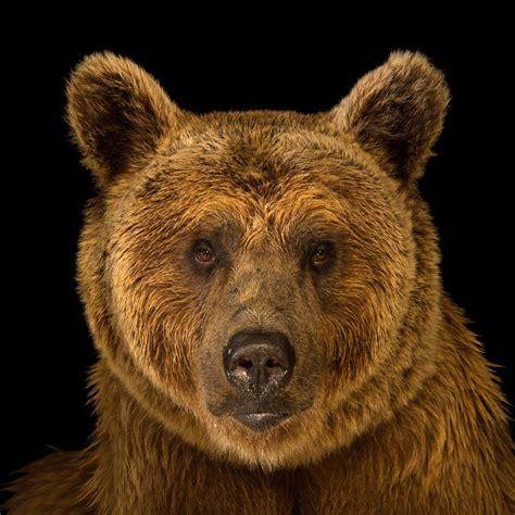 brown bear brown bear 0241137292 brown bear national geographic