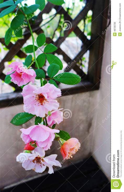 traliccio legno rosa ricante su traliccio di legno fotografia stock