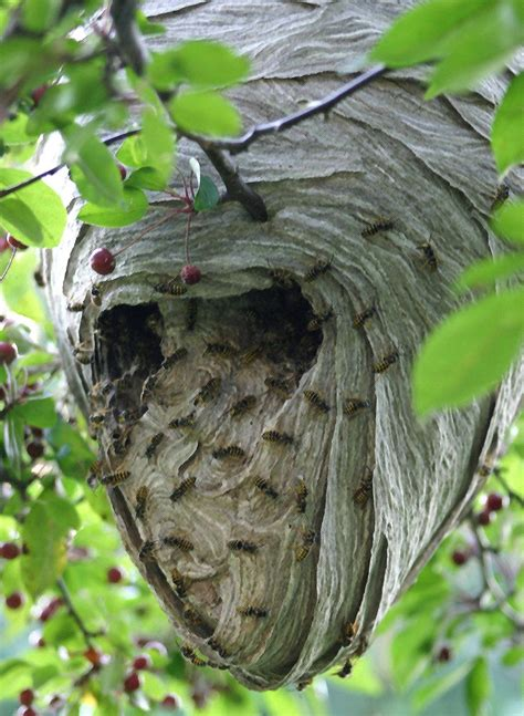 What Of Bees Make Paper Nests - 17 best images about wasps and hornets on ants