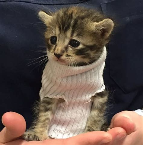 gets kitten kitten rescued from hurricane matthew gets tiny sock sweater and finds new home